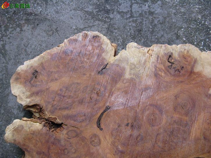 榆木树瘤图片大全