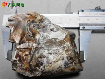 远古动物化石 实习会员泉品信息