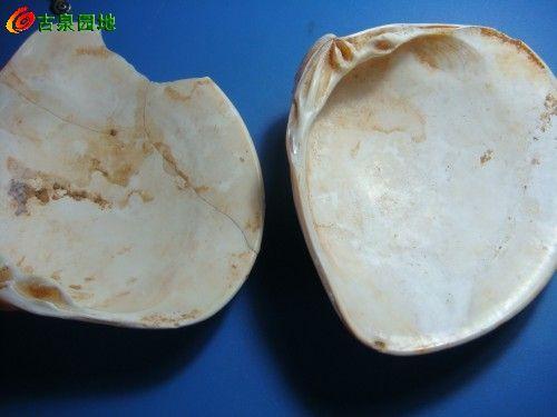 海底蚌壳类生物